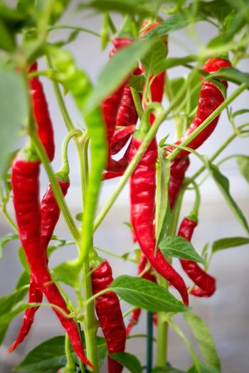 Red hot chili peppers The Essence Of Summer Close Up Showcase May Focus On Foreground No People Chilly Beauty In Nature Hot Peppers Plants Hot Chili Food Spices
