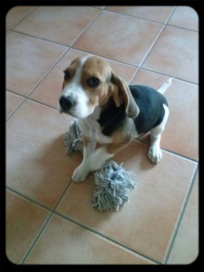 My beagle Jocker
