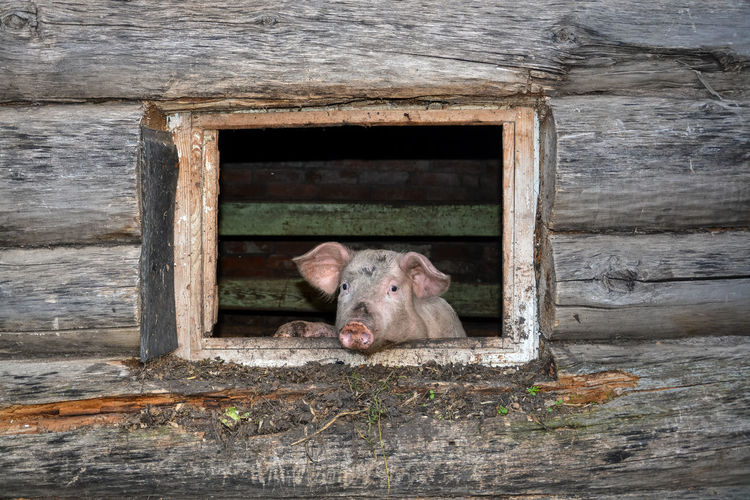 Portrait of pig on barn window
