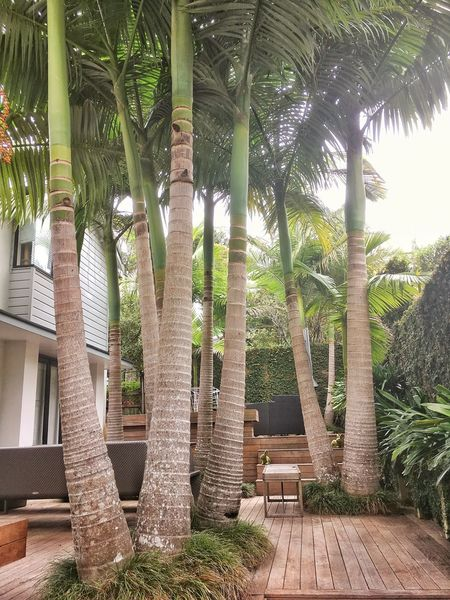 Archontophoenix alexandrae Archontophoenix Alexandrae House Tropical Setting New Zealand Landscape Lush Foliage Palm Trees Tree Plant Architecture Nature Growth Built Structure No People Tranquility Garden