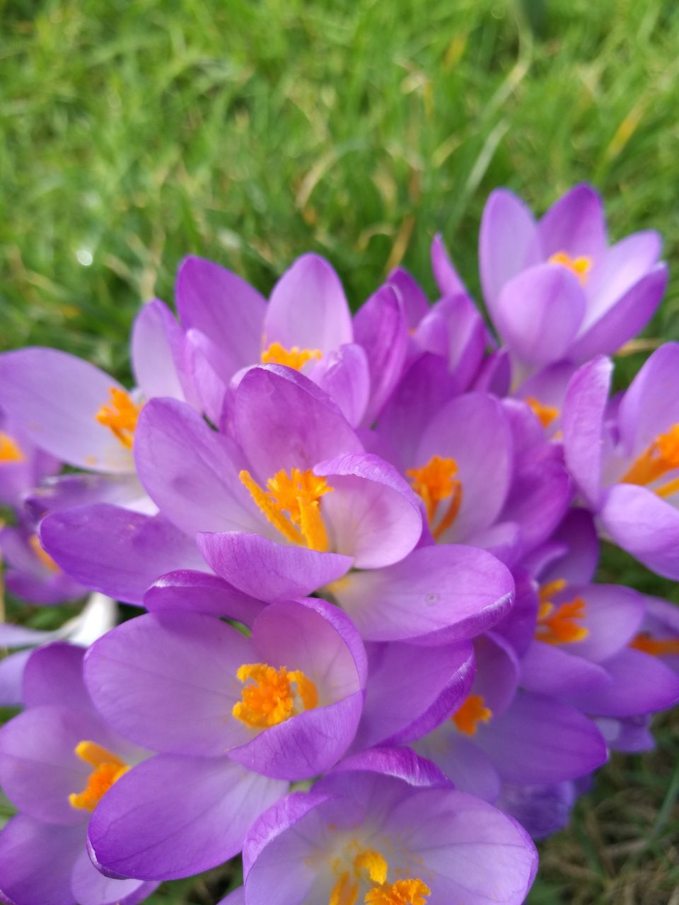 flower, nature, beauty in nature, plant, growth, petal, delicate, field, freshness, blooming, no people, outdoors, grass, fragility, day, close-up, flower head, crocus