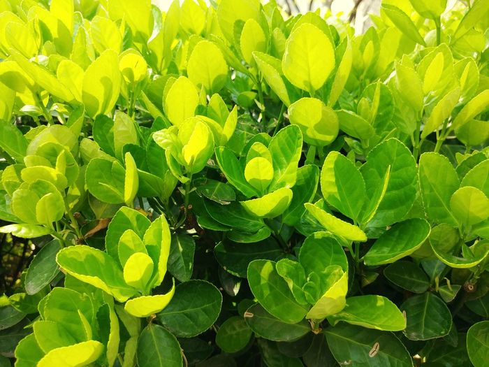 green Green Color Yellow Yellow Color Leaf 🍂 Young Leaves Spring Green Leaves Lemon Yellow Yellow Green Leaf Nature