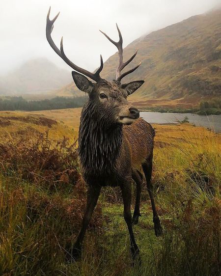 Caught this amazing creature while I was hiking in Scotland ! Standing right in front of me. Hidden Valley Highlands Of Scotland Scotland Amazingcreatures Nature Photography Hike Hiking Deers Travel Photography Mammal Field Plant Land Landscape No People Environment Nature Deer Standing One Animal Antler Grass Vertebrate Day Tree First Eyeem Photo