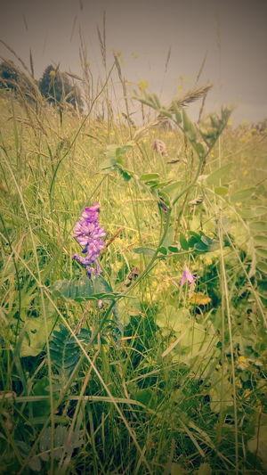 Мышиный горошек фиолетовый цветок