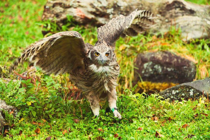 Japan Hokkaido Nakashibetsu Bird Animal Animal Themes Plant Animals In The Wild Animal Wildlife Grass One Animal Vertebrate Nature Land Field Day No People Mammal Green Color Growth Portrait Outdoors Sunlight Owl