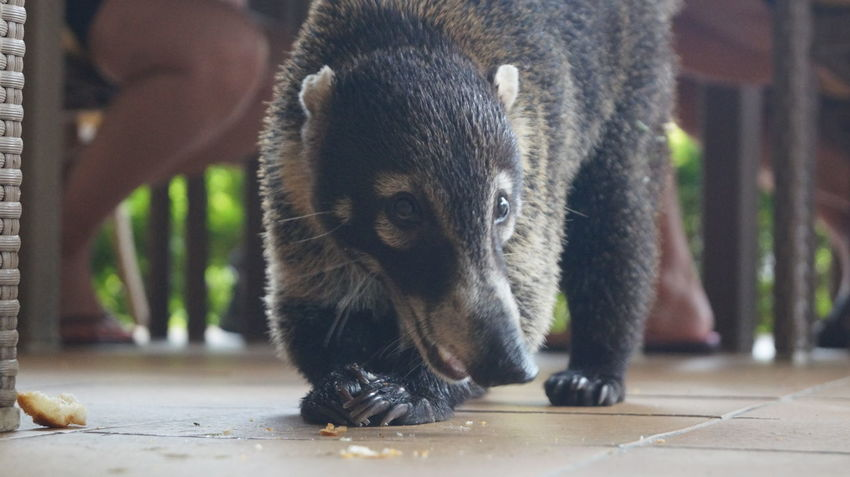 Animal Themes Animal Wildlife Animals In The Wild Close-up Coati Coatimundi Day Mammal Nature No People One Animal Outdoors Portrait Scavenger