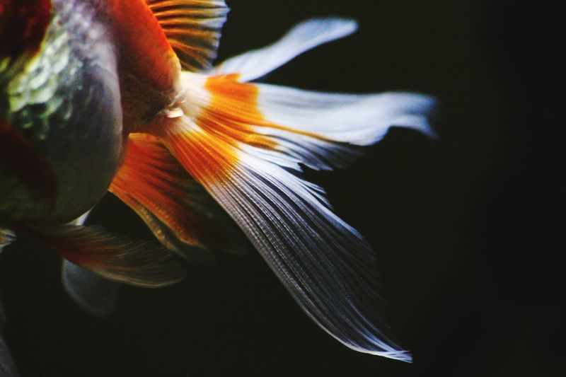 """""""a fish tails"""" Beauty In Nature Eyeem Philippines Fish Goldfish In Water Aquarium Macro Photography Tails Fish Tail"""