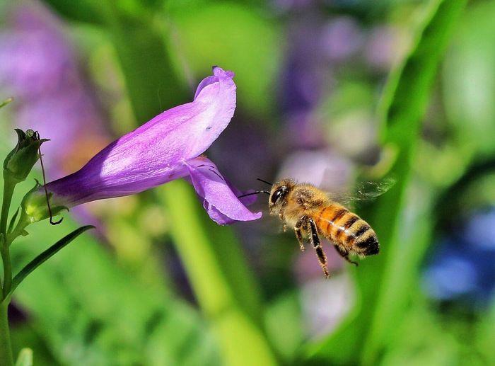 HoneyBee Penstemon Pollination
