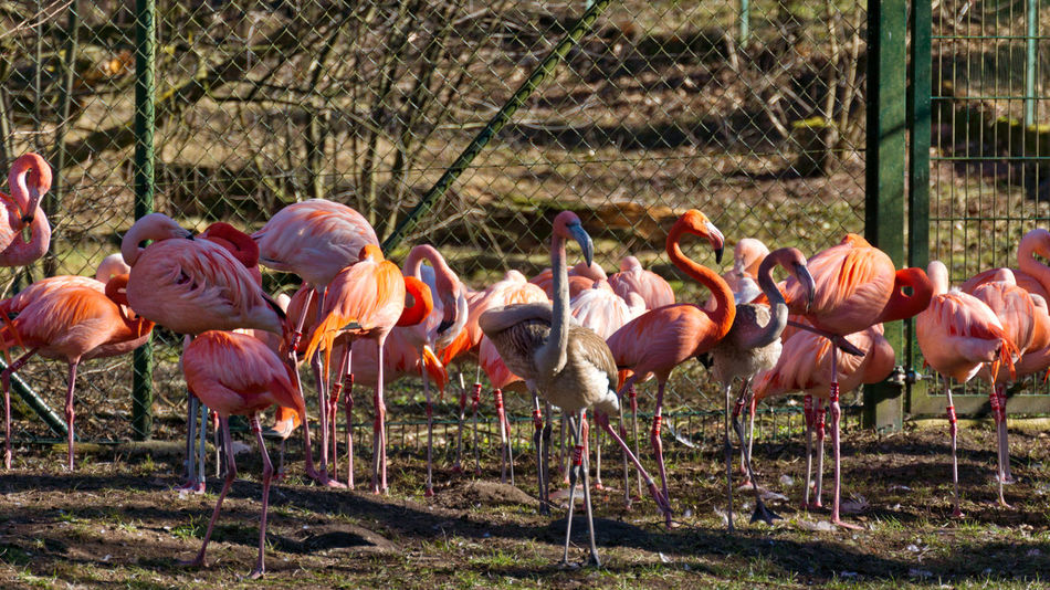 Animal Themes Animal Wildlife Animals In The Wild Beauty In Nature Bird Day Field Flamingo Large Group Of Animals Mammal Nature No People Outdoors