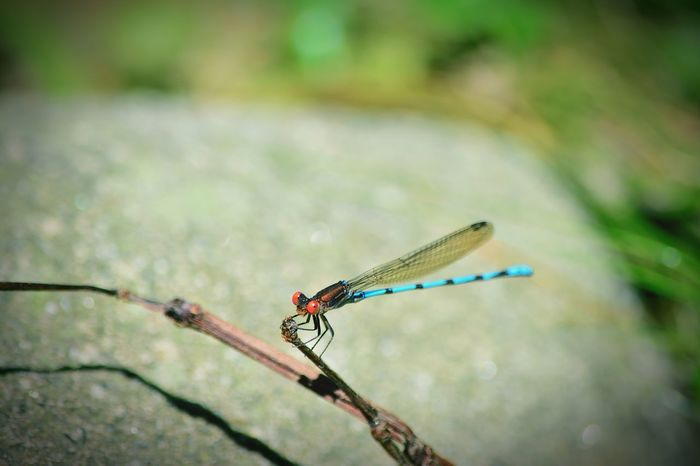 Insect Animals In The Wild One Animal Focus On Foreground Animal Themes Nature Close-up No People Animal Wildlife Outdoors Damselfly Beauty In Nature Green Color Day Libelula