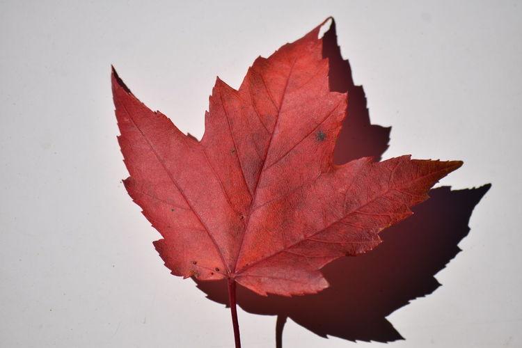 Fall Leaf Leaf Vein Maple Maple Leaf Mapleleaf Red Sea White Background