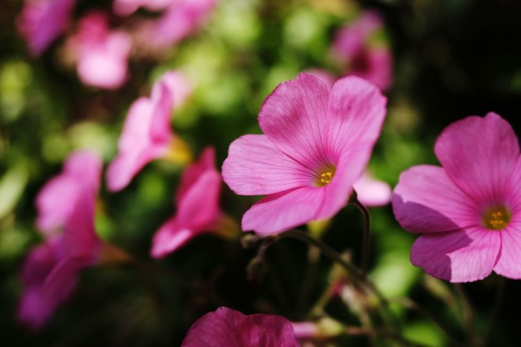 Flower Head Flower Petunia Pink Color Petal Close-up Plant
