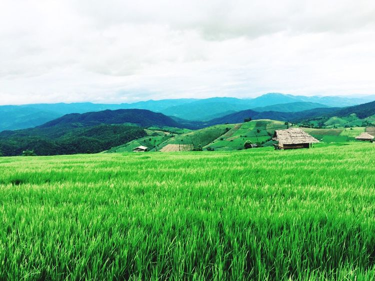 Agriculture Mountain Field Landscape Scenics Farm Nature Tranquil Scene Beauty In Nature Rice Paddy Crop  Rural Scene Green Color Sky Tranquility Growth Cultivated Land Rice - Cereal Plant House Changmai Bangkok Thailand. First Eyeem Photo