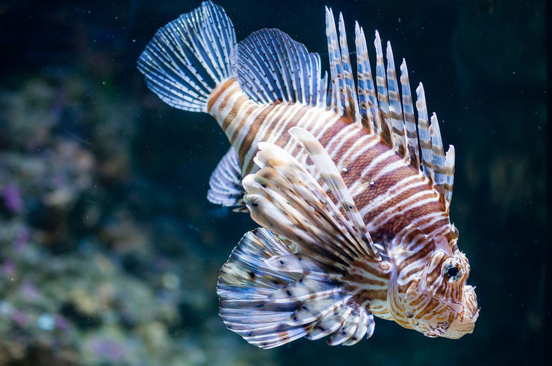 Close-Up Of Lionfish Swimming In Aquarium