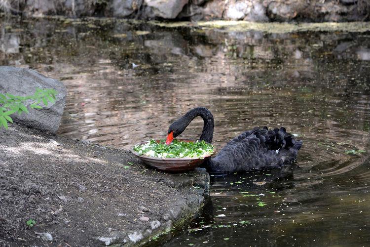 Black Swan Black Swans Black Bird EyeEm Birds Birdwatching Bird Photography Birds Of EyeEm  Birds_collection Birdporn Bird EyeEm Eyemphotography Eye4photography  EyeEm Animal Lover Eye Birding Ornithology