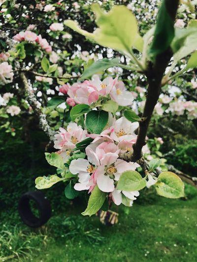 Apple blossom tyre swing Tree Tyre Swing Springtime Apple Tree Apple Blossom Plant Growth Beauty In Nature Flower Flowering Plant Freshness Nature Tree Day Pink Color Green Color Blossom Petal Leaf