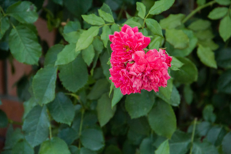 pink roses, shrub Flower Plant Flowering Plant Beauty In Nature Growth Fragility Vulnerability  Freshness Petal Close-up Plant Part Leaf Pink Color Inflorescence Flower Head Nature Green Color Day No People Outdoors Lantana