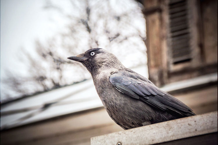 Close-Up Of Raven Perching On Railing Against House