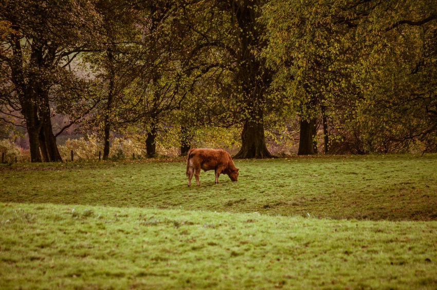 Tree Animal Themes Nature Field Domestic Animals Mammal Grass No People Growth One Animal Livestock Landscape Outdoors Beauty In Nature Day Cow Bovine Moooo Cattle Backgrounds Nature On Your Doorstep Yorkshire Scenics Trees Field