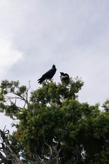 Animal Themes Animal Wildlife Animals In The Wild Beauty In Nature Bird Branch Crow Day Growth Low Angle View Nature No People One Animal Outdoors Perching Raven - Bird Sky Tree