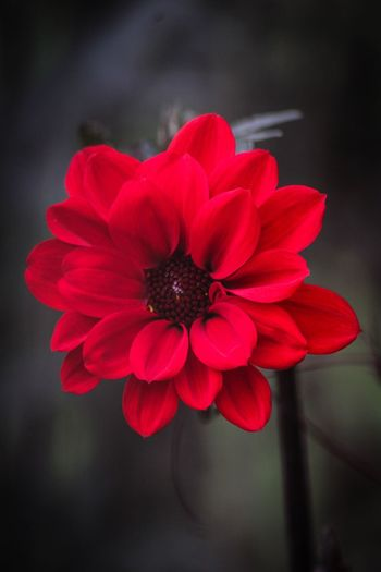 Flower Petal Nature Beauty In Nature Flower Head Fragility Growth Freshness Focus On Foreground Blooming Red Zinnia  Close-up Plant Outdoors No People Day