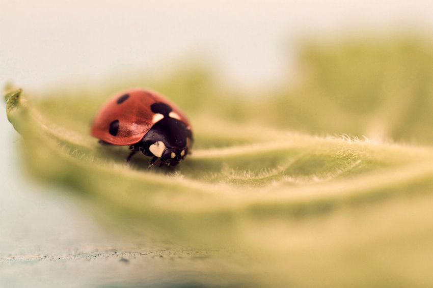 Beauty In Nature Coccinella Coccinelle Coccinelle🐞 Insect Insectes Ladybug Nature No People Selective Focus
