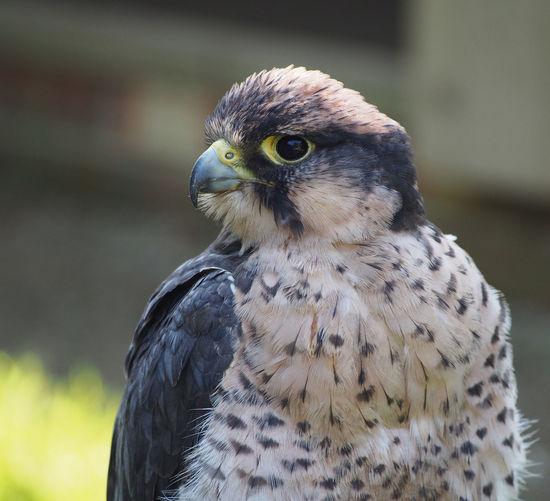 Close-up hawk