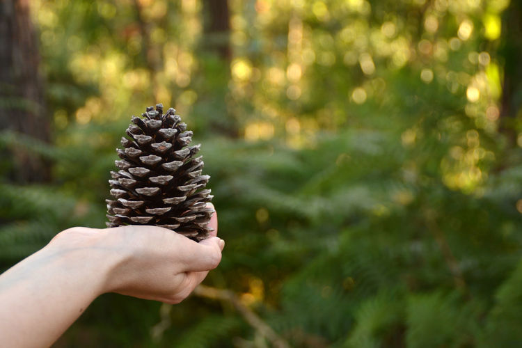 Cropped hand holding pine cone against trees and plants