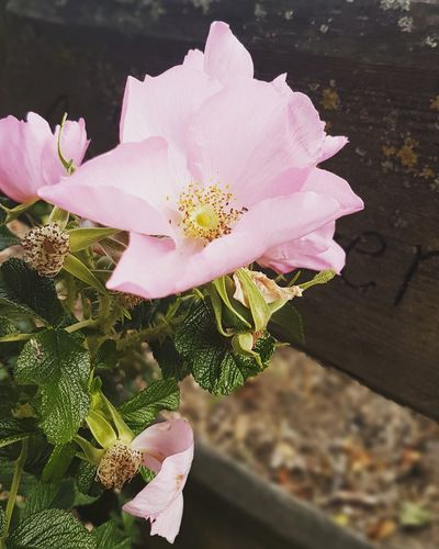 Sie duften so herrlich In Bloom Hibiscus Wild Rose Blooming