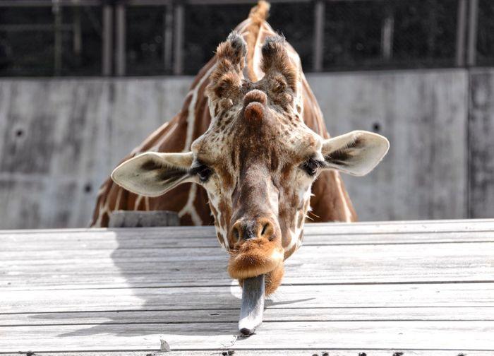Close-up of giraffe sticking out tongue
