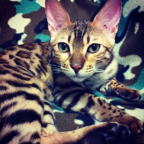 Channel шани Bengal Cat bengalcat