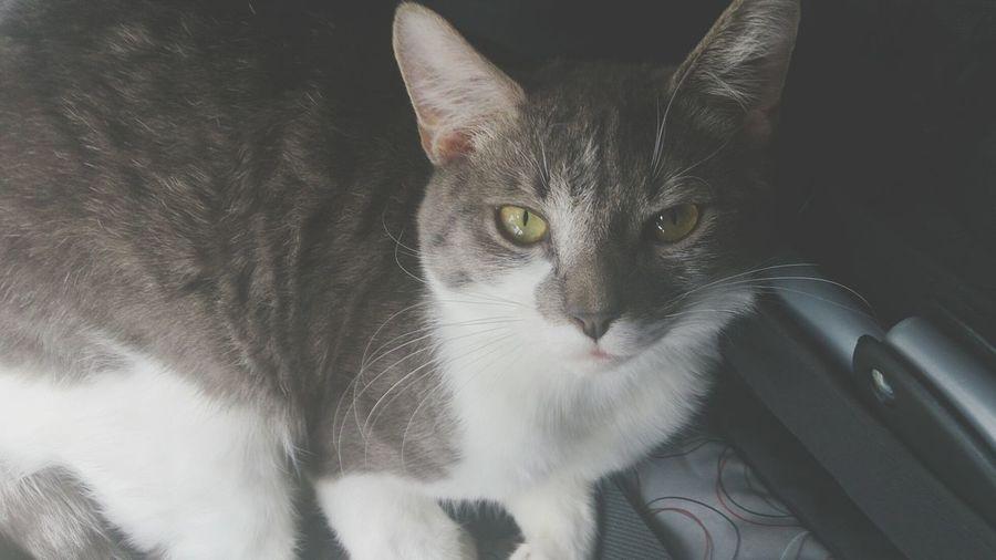 My cutie pie Nouis <3 My Gorgeous Boy Kitty :3 Evil Just Beautiful