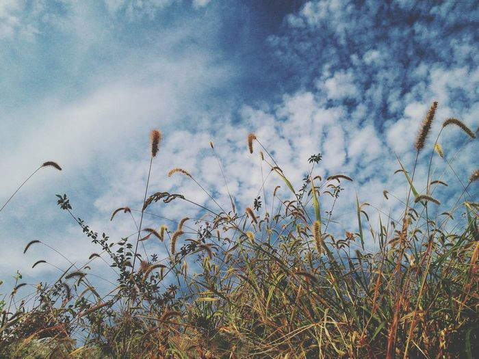 Foxtail 강아지풀 Sky And Clouds