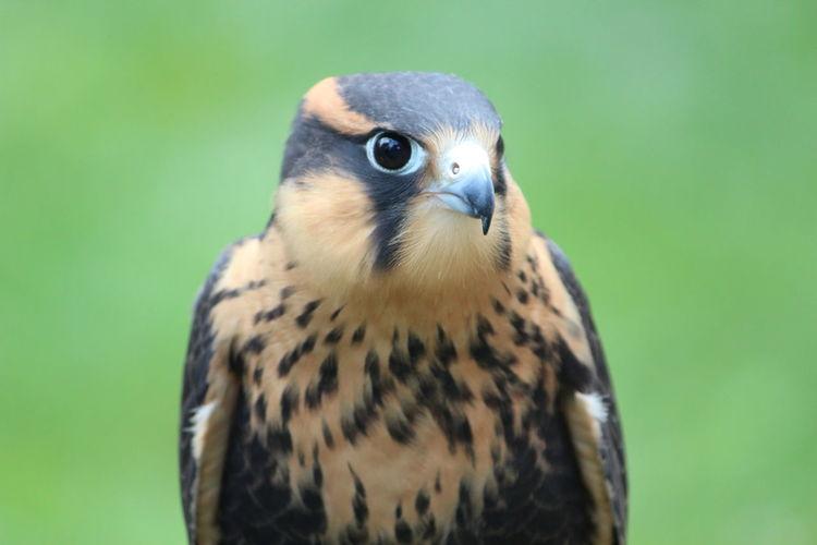 Close-up of kestrel