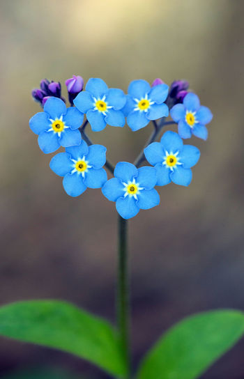 Natural love :-) Beautiful Beauty In Nature Blooming Blue Blue Flowers Close-up Flower Flower Head Focus On Foreground Forget-me-not Fragility Freshness Growth Heart In Bloom Love Love In Nature Lovely Nature Petal Plant Wildflower Flower Photography Macro Fine Art Photography