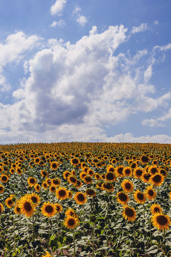 Cloud - Sky Sky Plant Beauty In Nature Nature Landscape Environment No People Land Growth Scenics - Nature Day Field Sunflower Flower Freshness Yellow Tranquil Scene Flowering Plant Flower Head Outdoors