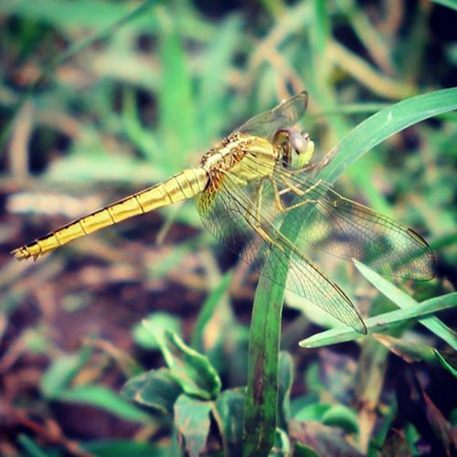 Si kuning. Dragonfly_of_the_day Dragonflies Dragonfly Ig_dragonflies tgif_macro tgif_insects df_macro