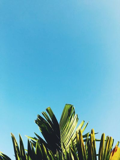 Sky Low Angle View Clear Sky Blue Growth Copy Space Plant Nature No People Leaf Palm Tree Palm Leaf Green Color Day Beauty In Nature Plant Part Tree Outdoors Sunlight Tranquility Tropical Tree
