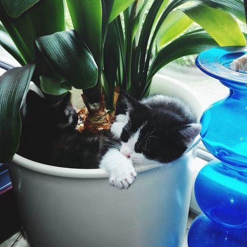 Flowercats Cats Of EyeEm Cat Lovers Cat Katze Katzenliebe Katzenbabys Katzenbabies Katzenbaby Tiefschlaf Vase Flower