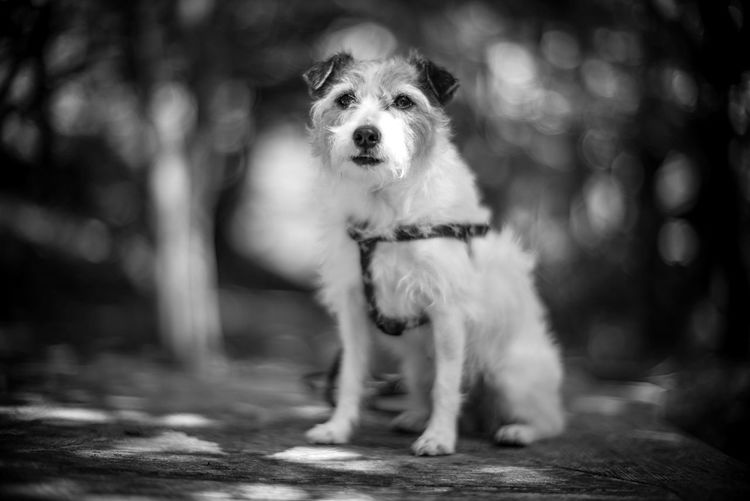 Bokeh Photography Bokeh BW_photography Bw_collection Kinoko Jrt Jackrussellterrier Jackrussell Mammal One Animal Canine Dog Domestic Domestic Animals Pets Portrait No People Looking At Camera Vertebrate Focus On Foreground Selective Focus Day Sitting Front View Full Length Small
