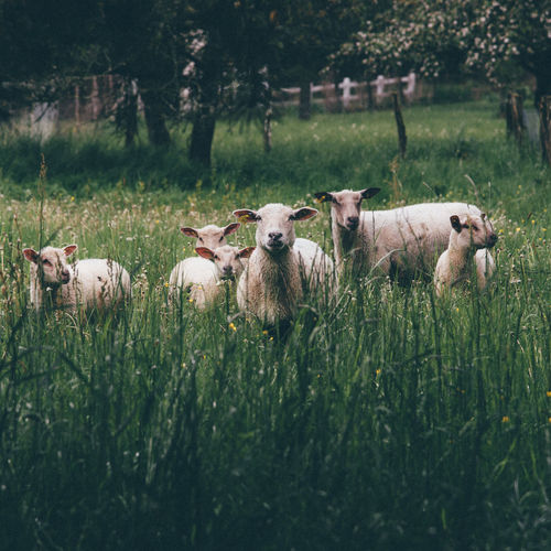 Sheep relaxing on field