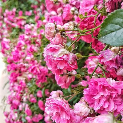 Flores Rosas🌹🌹 Petalos EyeEmNewHere Beauty In Nature Pink Flower 🌸 Flowers