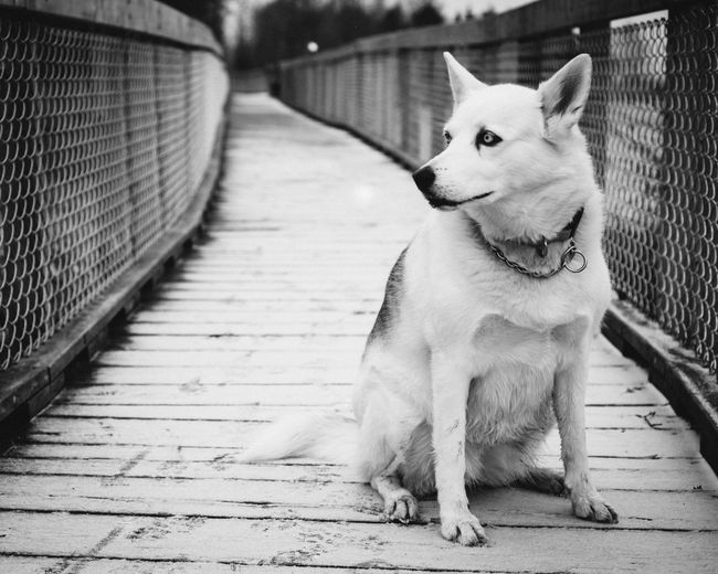 Husky Sitting On Boardwalk