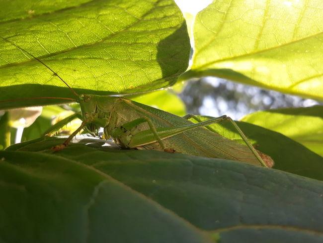 Zöld Lombszöcske (Tettigonia Viridissima) Leaf Insect Sunlight Close-up Animal Themes Green Color
