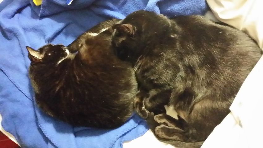 Double black fur freedom missie in bed Animal Themes Domestic Animals Mammal Pets Close-up No People Indoors  Day Black Cat Collection Black Cat Photography Cat Black Gato Negro Cat Domestic Cat Black Cat In Bed Bed Mate
