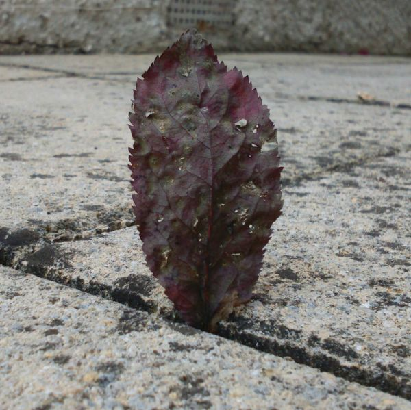 Pretty leaf caught in the cracks of path Leaf Colourful Colourful Leaves Standing Tall Standing Up Concrete Concrete Path Path Tiles Nature Dead Leaf Purple Leaf Holey Leaves Holey Zigzag Leaf Photography Caught Caught Up Wind Swept Wind Blown Down Low Ground Ground Level View