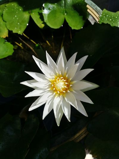 Lotus Lotus Water Lily Flower Petal Beauty In Nature Nature Water Lily Freshness Leaf
