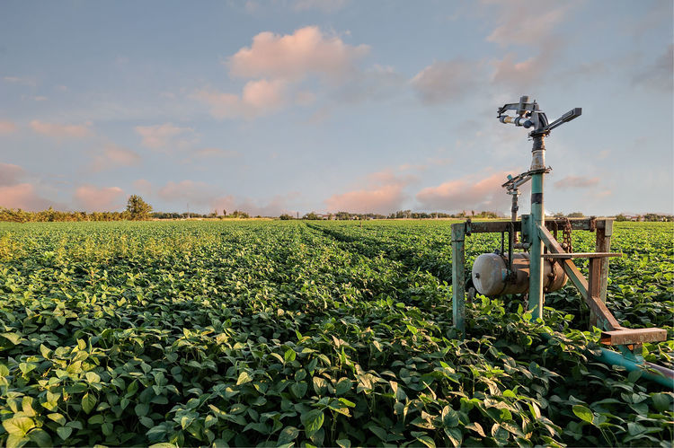 Agricultural landscape. Field of soybean and sprinkler of irrigation. Agriculture Beauty In Nature Cloud - Sky Crop  Day Farm Field Growth Irrigation Nature No People Outdoors Plant Rural Scene Sky Sprinkle Sprinkler
