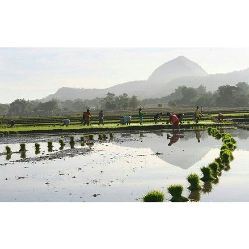 Magtanim ay 'di biro, Maghapong nakayuko. Hometown MtBalungao Farm