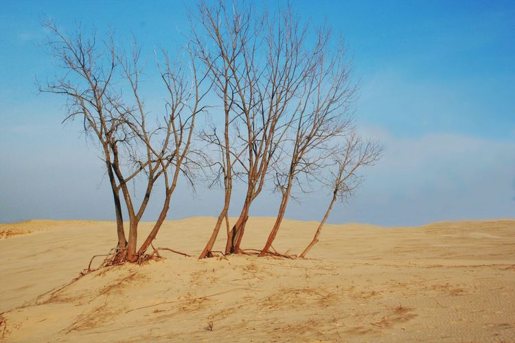 Trees on top of Mt. Baldy sand dune in th Indiana Dunes National Lakeshore Bare Tree Tranquility Tranquil Scene Landscape Nature Beauty In Nature Tree Blue Day No People Outdoors Sand Sky Lone Mt. Baldy Trees And Sky Barren Desolate Scene Cluster Of Trees EyeEmNewHere